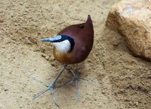 Afrikanisches jacana, das im Sand steht Stockbild