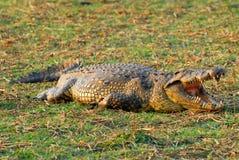 Afrikanisches Krokodil 4 Stockbild