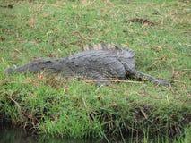 Afrikanisches Krokodil stockbild