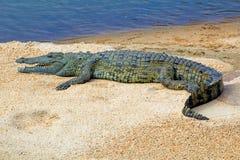 Afrikanisches Krokodil auf einer Sandbank stockfotografie