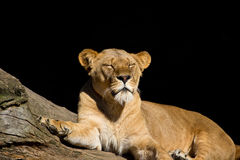 Afrikanisches Löweschlafen Lizenzfreie Stockbilder