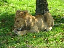 Afrikanisches Löwinjunges, das auf einem Knochen im Schatten kaut Lizenzfreies Stockfoto
