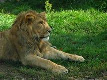 Afrikanisches Löwinjunges im Schatten Stockfotografie