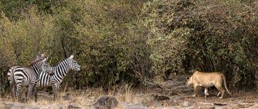 Afrikanisches Löwinopfer auf Zebra Stockfotos