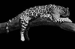 Afrikanisches Leopardschlafen Stockfotos