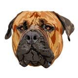 Afrikanisches Mastiffporträt lizenzfreie abbildung