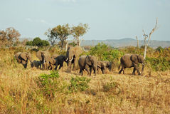 Afrikanisches miombo Waldland mit Gruppenelefanten Stockfotos