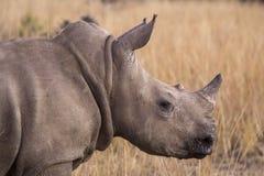Afrikanisches Nashorn Stockfotos