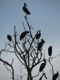 Afrikanisches openbill im Baum lizenzfreie stockbilder