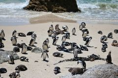 Afrikanisches pinguin an den Flusssteinen setzen in Simons-Stadt auf den Strand lizenzfreies stockbild