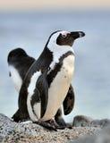 Afrikanisches Pinguin Spheniscus demersus Stockfotos