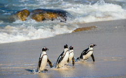 Afrikanisches Pinguin Spheniscus demersus Stockfotografie