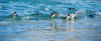 Afrikanisches Pinguin Spheniscus demersus Lizenzfreies Stockbild