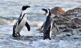 Afrikanisches Pinguin Spheniscus demersus auf dem Ufer von Ozean Lizenzfreie Stockfotos