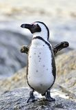 Afrikanisches Pinguin Spheniscus demersus Berühmter Kanonkop Weinberg nahe malerischen Bergen am Frühling Stockfotografie