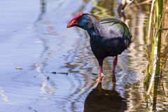 Afrikanisches Purpur swamphen Mündung Stockfotos