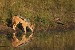 Afrikanisches Schwarzes unterstütztes Schakal-Trinkwasser Lizenzfreies Stockfoto