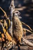 Afrikanisches suricate Lizenzfreie Stockbilder