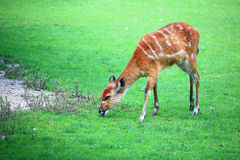 Afrikanisches Tier-Sitatunga-Tragelaphus spekii Lizenzfreies Stockfoto