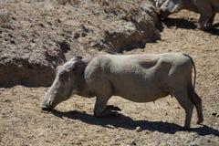 Afrikanisches Warzenschwein, das unten knit, um zu essen Lizenzfreie Stockfotografie
