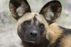 Afrikanisches wilder Hundeporträt Lizenzfreie Stockfotografie