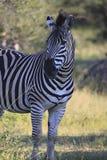 Afrikanisches Zebra, das bei Sonnenuntergang steht Stockbild