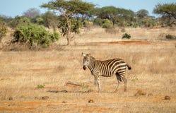 Afrikanisches Zebra in Kenia lizenzfreies stockfoto