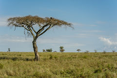 Afrikanlandskap - Serengeti nationalpark Tanzania royaltyfri bild