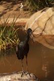 AfrikanOpenbill stork, Anastomuslamelligerus Fotografering för Bildbyråer