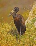 AfrikanOpenBilled stork royaltyfri fotografi