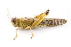afrikansk ökengräshoppa Arkivfoton