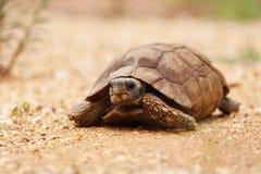 afrikansk ökensköldpadda arkivfoton