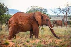 Afrikansk africana för buskeelefantLoxodonta som täckas med rött damm Arkivbild