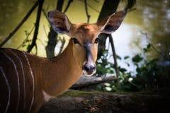afrikansk antilop Royaltyfria Bilder