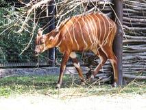 Afrikansk antilop för Bongoantilopbrunt med vita remsor arkivfoton