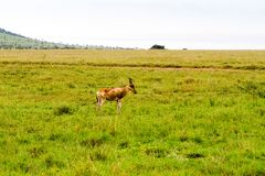 Afrikansk antilop i den Serengeti nationalparken royaltyfria bilder