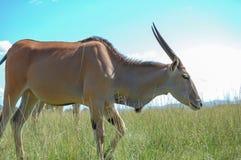 Afrikansk antilop som bara går Fotografering för Bildbyråer
