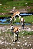 Afrikansk antilopspringbock Arkivbild