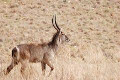 afrikansk antilopwaterbuck Royaltyfri Fotografi
