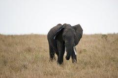 Afrikansk beteelefant i masaien Mara, Kenya Fotografering för Bildbyråer