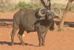 afrikansk buffel Arkivbild