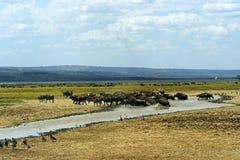 Afrikansk buffel Royaltyfria Bilder