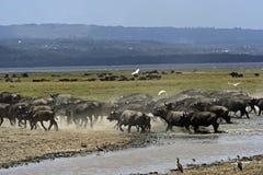 Afrikansk buffel Arkivbilder