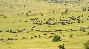 Afrikansk buffel Arkivfoto