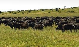 Afrikansk buffel Royaltyfria Foton