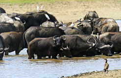 Afrikansk buffel Royaltyfri Fotografi