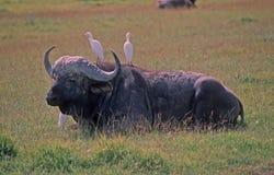afrikansk buffel Royaltyfri Foto