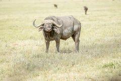 Afrikansk buffel i Serengeti Fotografering för Bildbyråer