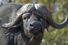 Afrikansk buffel och oxpecker Arkivfoton