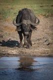 Afrikansk buffel på floden royaltyfria bilder